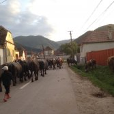 The cows really do come home in Transylvania